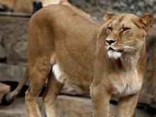 Leeuwinnen uit Artis grijpen een reiger
