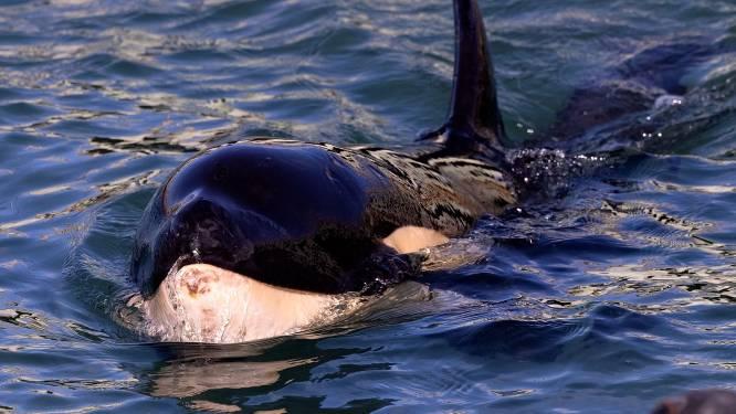 Un bébé orque meurt après de vaines recherches pour retrouver sa mère