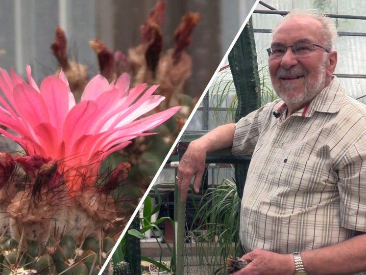 Sjef (82) is hobby cactuskweker en heeft meer dan 1.000 cactussen: 'Er is zelfs een cactus naar mij vernoemd'