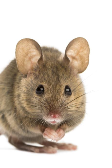 Wetenschappers staan voor een mysterie: wat is de oorzaak van die enorme muizenplaag?