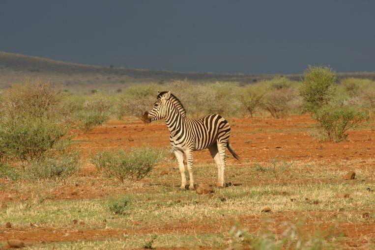 Een zebra in het natuurpark Madikwe. Beeld Wikimedia Commons/Guest9999