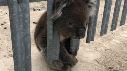 Klungelige koala al voor de derde keer gered, deze keer komt hij met zijn kop vast te zitten in een hek