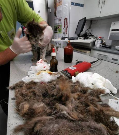 Zielig! Dierenkliniek bevrijdt katje van gigantisch vervilte vacht