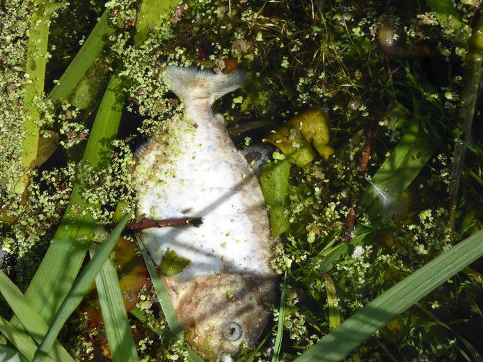 Een dode piranha in een sloot langs de Schaardijk in Lopik.