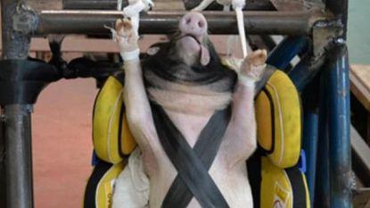 """Dit is ziek"": storm van protest na ""barbaarse"" crashtests met levende varkens in China"