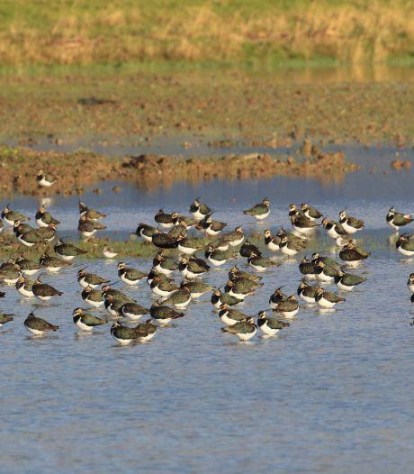 Veluwse landbouwgronden onder water gezet om weidevogels te helpen