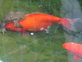 Deze pad wil paren met een goudvis, en dat levert grappig tafereel op