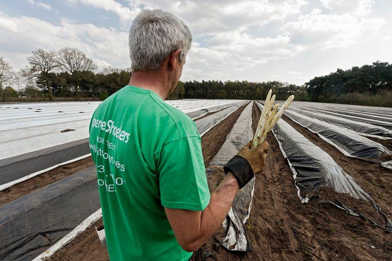 Aspergeteelt in Olmen. 'Voedselzekerheid in België is een essentiële kwestie', schrijven de academici. Beeld Photo News