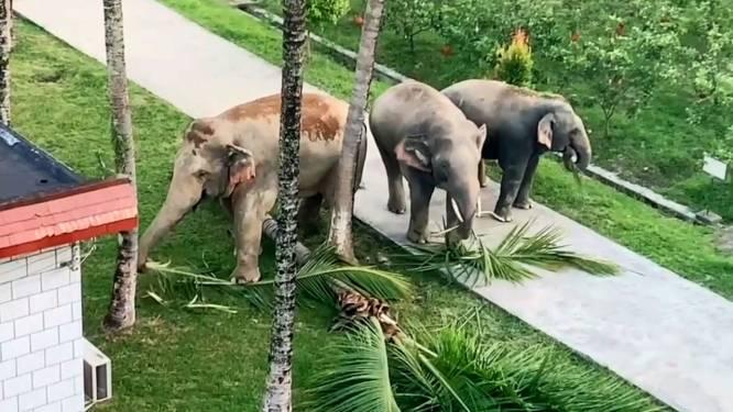 Trois éléphants saccagent un terrain de la police en Chine