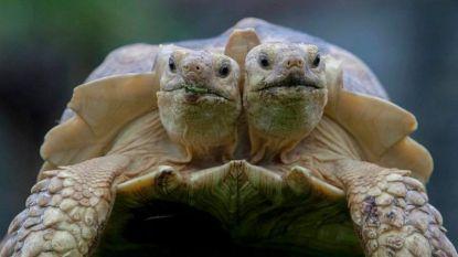 Een week goed nieuws: tweekoppige schildpad viert 8ste verjaardag en andere verhalen die je blij maken