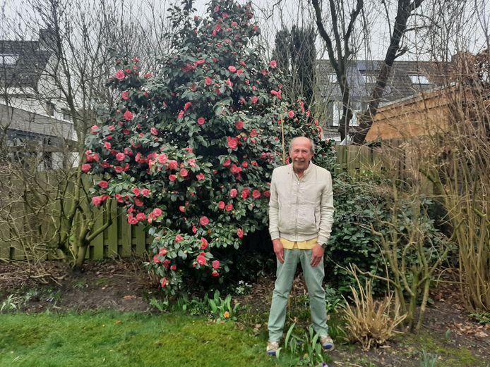 Jaap van der Sar uit Kaatsheuvel voor de enorme Camellia japonica in zijn achtertuin.