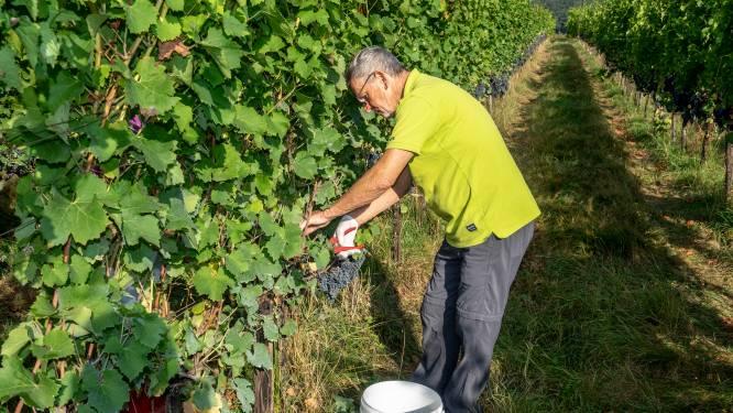 Wijnoogst in Groesbeek is begonnen: 'Vroeger moest je naar Frankrijk om druiven te plukken, nu kan het hier'