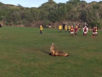 Zeeleeuw legt voetbalwedstrijd in Nieuw-Zeeland stil