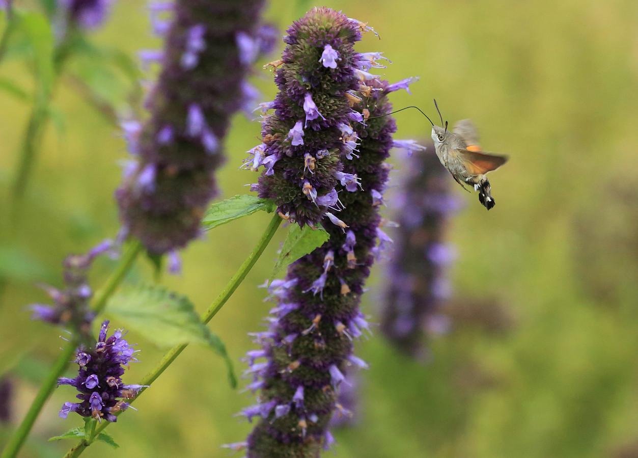 De kolibrievlinder (archieffoto) werd eerder gespot door voormalig boswachter Jacques van der Neut. Foto ter illustratie.