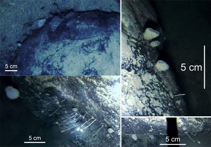 Beelden van de onbekende sponsachtige diersoorten onder de ijsplaat op Antarctica.
