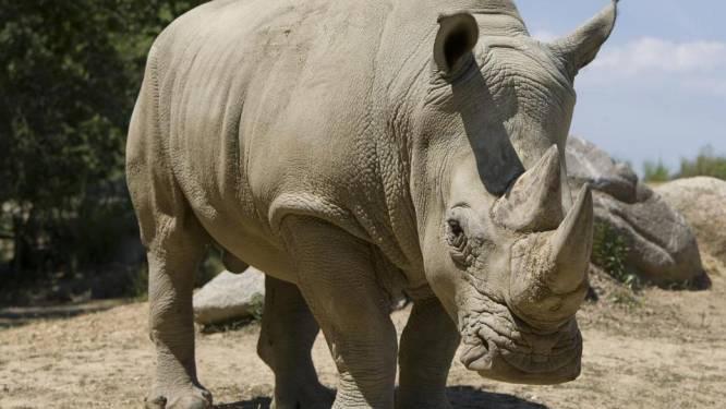 Neushoornstropers: ook in Belgische dierentuinen extra maatregelen