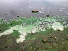 Blauwalg weer in opkomst: op deze plekken in de Haagse regio moet je geen duik nemen