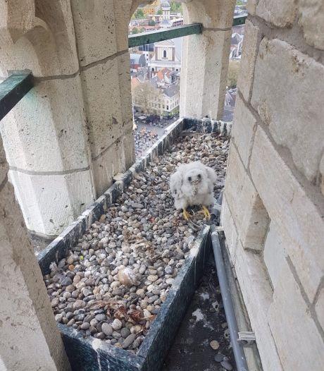 Koppeltje slechtvalken op Grote Toren heeft een kuiken gekregen
