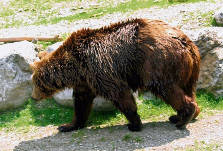 'Bruno' was de eerste bruine beer die opdook in Duitsland.  Beeld EPA