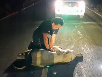 Reddingswerker reanimeert babyolifant na accident met motorrijder