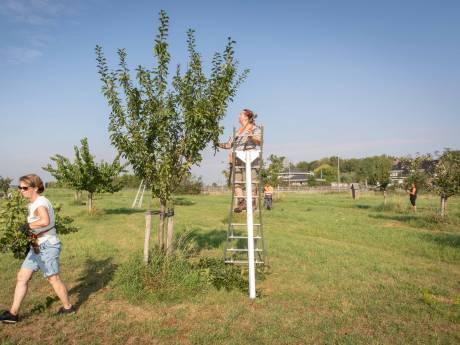 Vrijwilligers knappen dorpsboomgaard Yerseke op. 'Iedereen mag ervan plukken'
