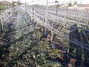 Nachtvorst op wijngaard De Linie