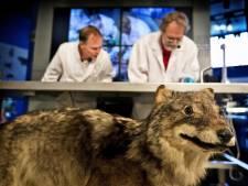 VVD ziet terugkeer wolf als gevaar, PvdA niet