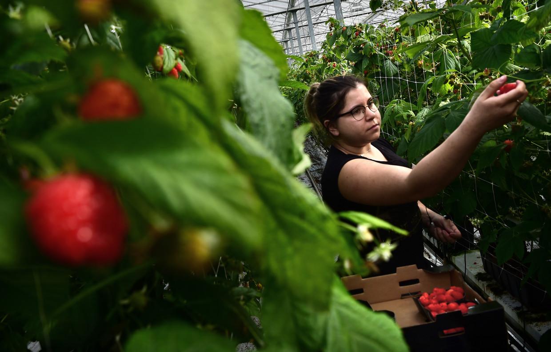Een Poolse arbeidskracht plukt frambozen op de fruitkwekerij van René Simons. Een kwart van Simons 26 arbeidsmigranten keerde inmiddels terug naar Polen vanwege corona-angst. Beeld Marcel van den Bergh / de Volkskrant