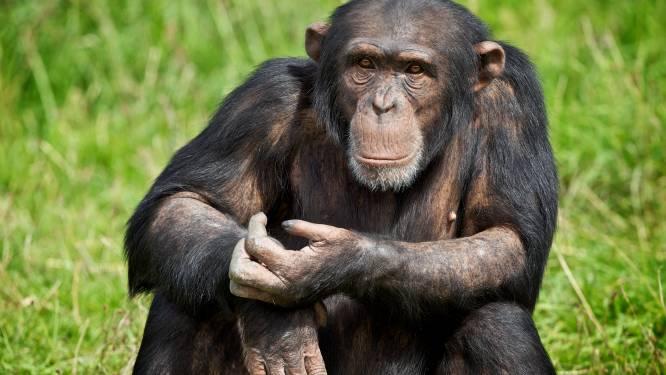 Zelfs jongvolwassen chimpansees zijn mama's kindjes