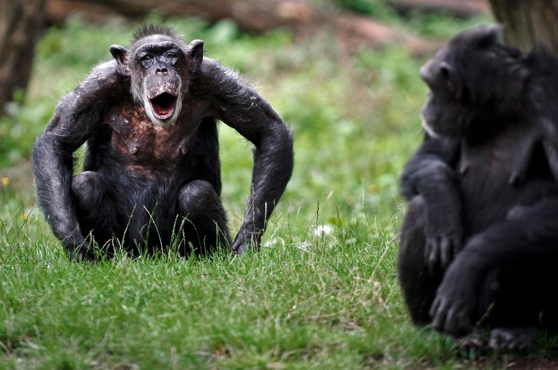 Chimpansees in Burgers' Zoo in Arnhem.  Beeld ANP
