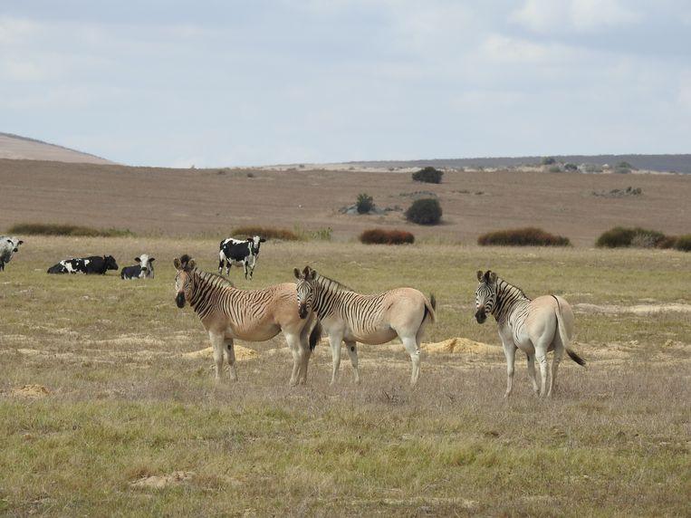De Rau quagga is, na vijf generaties te zijn gefokt, een erkend landras in Zuid-Afrika. Beeld Bernard Wooding