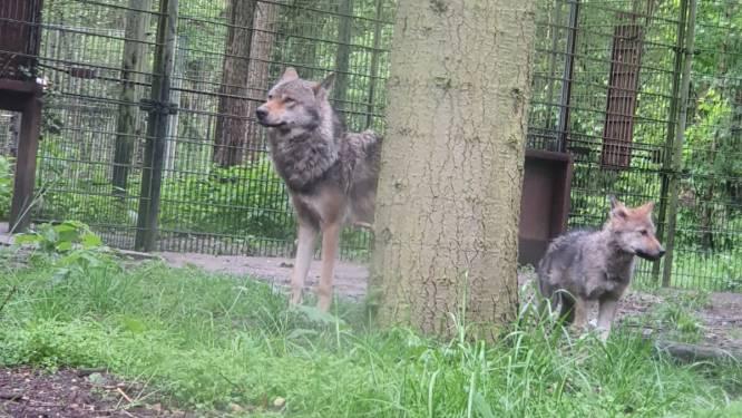 Vier wolvenwelpjes met erfelijke oogziekte kregen een spuitje in Dierenpark Amersfoort