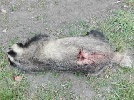 Doodgeschoten das gevonden in Deurne: 'Dit is een beschermde diersoort, doden is een misdrijf'
