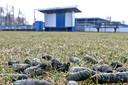 Enorme hoeveelheden ganzenpoep op het voetbalveld van Be Quick dwongen de club uit Zutphen er zelfs twee jaar op rij toe om wedstrijden af te gelasten.