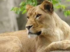 Leeuwin doodt vader welpjes