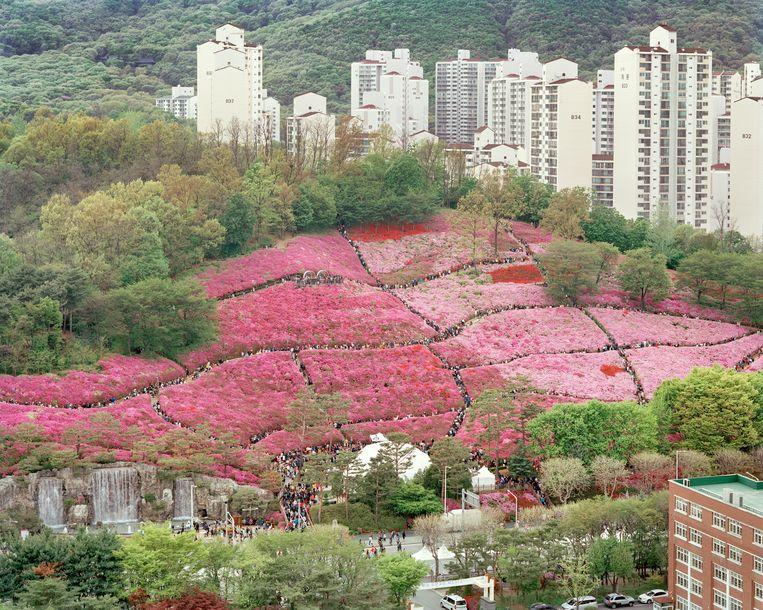 In de stad Gunpo wordt er elke lente een gigantisch azaleafestival gehouden. Beeld Seunggu Kim/INSTITUTE