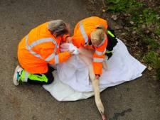 Zwaan geraakt tijdens oversteken A50 bij Vaassen: automobilisten redden dier