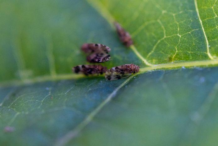Bladvlooien op een blad van de duizendknoop. Een bladvlo is ongeveer 2 millimeter groot.