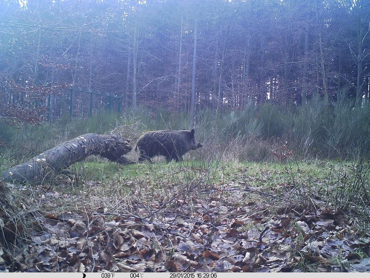 Een everzwijn, te zien op de wildcamera.
