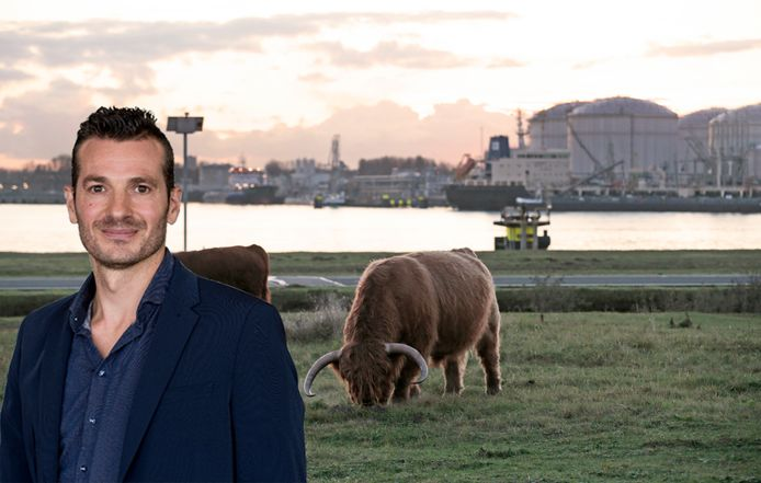 Fotomontage. De Landtong Rozenburg biedt uitzicht op Schotse Hooglanders en olie-opslagtanks.