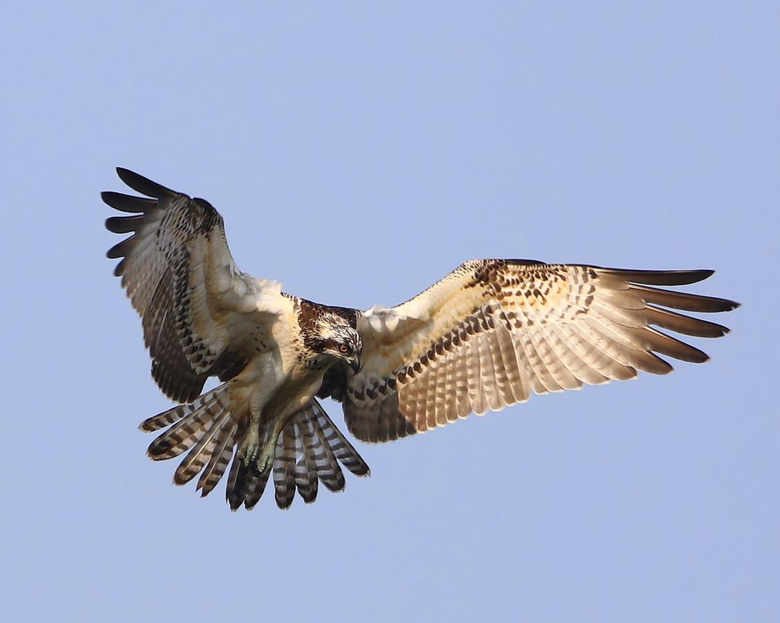 Jagende visarend. Foto Hans Verhoeven