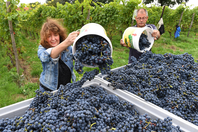 De oogst bij wijngaard de Plack in Groesbeek is begonnen.