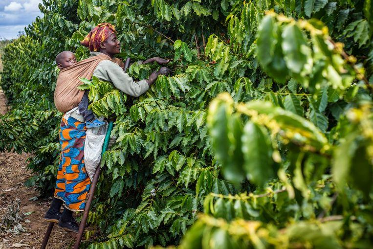 Koffieplantage in Zambia. De Carbon Bank start met een bomenproject voor Afrikaanse boeren. Beeld NurPhoto via Getty Images