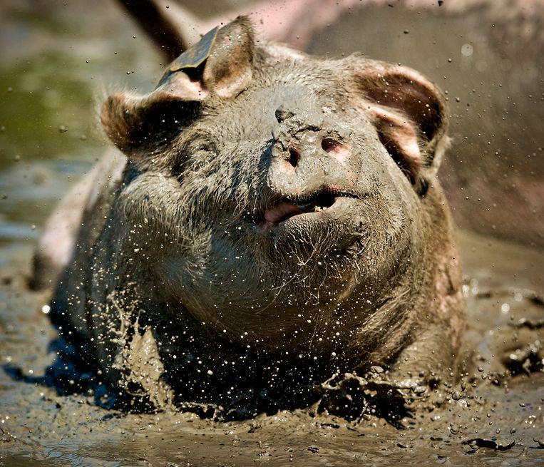 Een blij varken in de modder. Beeld null