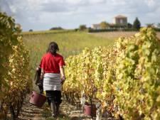 Les vignerons bordelais intègrent de nouveaux cépages pour s'adapter au changement climatique