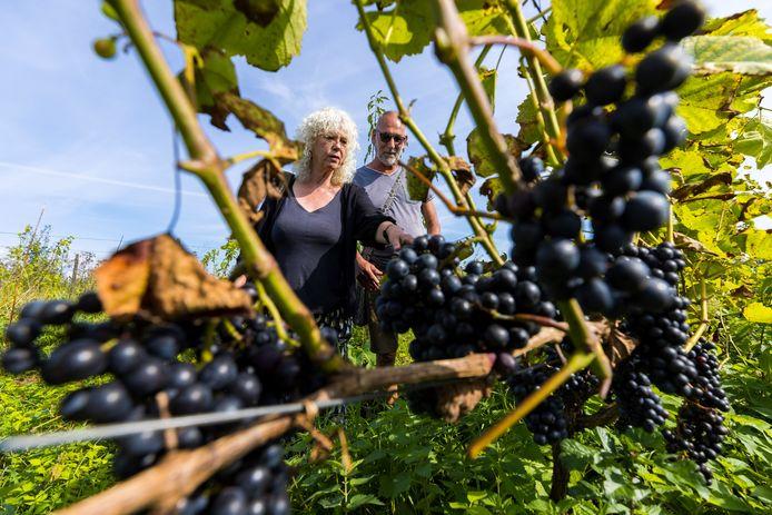 Marjella en Geert struinden tijdens de open dag bij Wijndomein Oude Waalstroom in Hurwenen tussen de druiven.