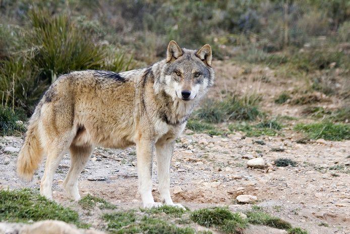 Een Europese wolf