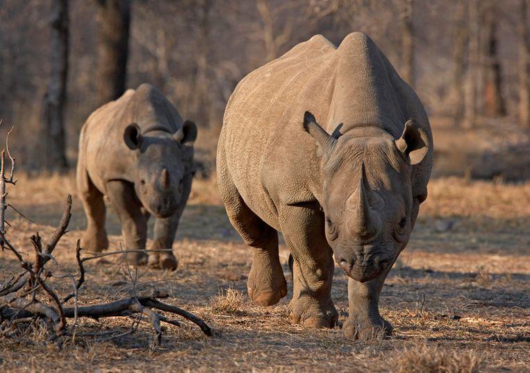 De in zijn voorbestaan bedreigde zwarte neushoorn in de Serengeti in Tanzania.   Beeld REUTERS/Tom Kirkwood