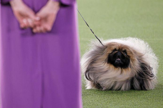 """""""Wasabi"""" a remporté le premier prix du concours canin du Westminster Kennel Club."""