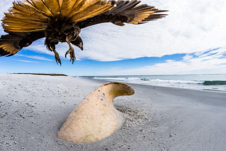Een gestreepte caracara doet zich tegoed aan het laatste stukje van een uit het zand stekend karkas van een Orka. Beeld Phil Jones
